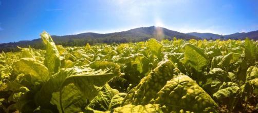 Italia primo produttore di tabacco in Europa