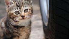 Les chats menacés par les voitures électriques qu'ils n'entendent pas