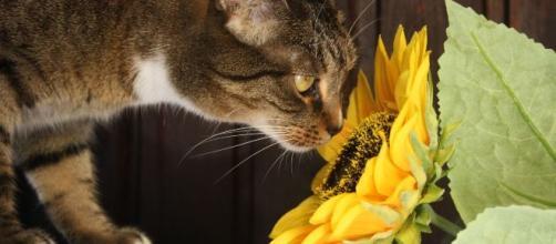 Ces odeurs que les chats detestent vraiment - photo libre de droits Pixabay