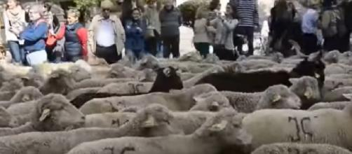 Thousands of sheep take over Madrid streets. [Image source/CGTN YouTube video]