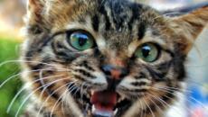 5 choses qu'un chat essaie de dire quand il miaule