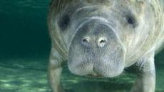 7 curiosità sui lamantini, gli splendidi mammiferi acquatici che rischiano l'estinzione