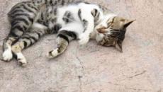 5 raisons qui expliquent pourquoi un chat se roule par terre