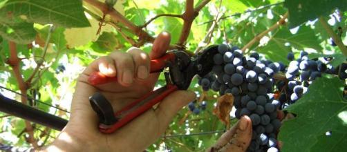Vini, l'Italia è il primo produttore mondiale. Migliora la qualità ... - tp24.it