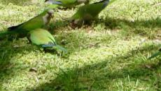 Madrid wages a war against green monk parakeets that have become pests