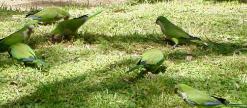Monk Parakeets, Argentina. [Image source/gailhampshire Wikimedia Commons]
