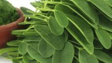 Aumenta la fama de la moringa, una planta tropical curativa y llena de bondades