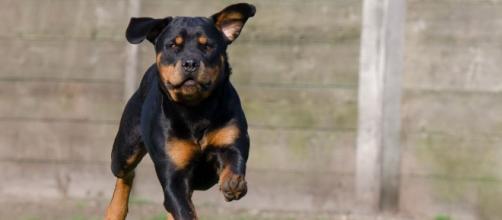 Un uomo di 49 anni è morto azzannato da due rottweiler.