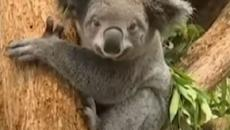 Bushfires in Australia might have destroyed 30 percent of koalas and their habitats