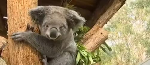 Hundreds of koalas perish in Australian bushfire. [Image source/CGTN YouTube video]