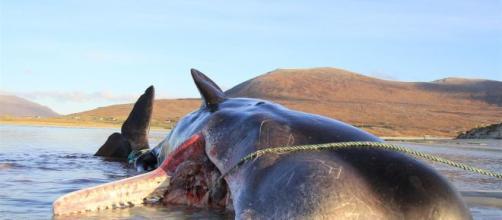 Cachalote deu à costa com cerca de 100 kg de lixo no estômago.