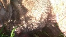 Denuncian a un cazador por matar a su perra tras dispararle y arrastrarla en Chantada