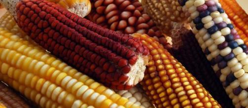 El maíz mexicano tiene muchas variedades. - udgtv.com