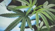 Consommer du cannabis augmenterait le risque de cancer des testicules de 36%