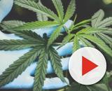 Consommer du cannabis augmente les risques du cancer des testicules. Credit/ Pexels