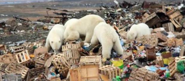 Dichiarato lo stato di emergenza sull'arcipelago russo di Novaya Zemlya per un'invasione di 52 orsi polari nelle zone abitate.