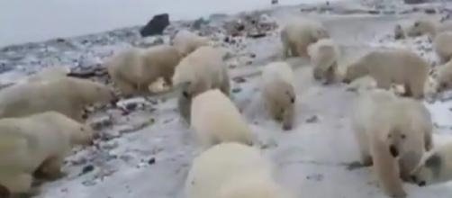 Russian archipelago Novaya Zemlya, Polar bears attacks. [Image source/#2channel YouTube video]