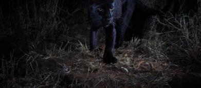 Rarissimo leopardo nero africano fotografato per la prima volta dopo 100 anni