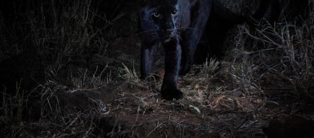 Il leopardo nero fotografato in Africa dopo 100 anni - independent.co.uk