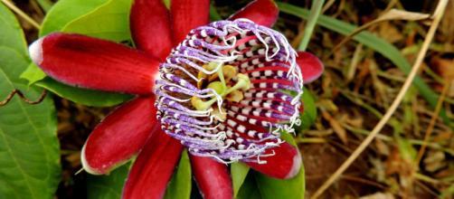 A flor de maracujá é versátil e seu chá auxilia na melhora do sono. (Foto: Pixabay)