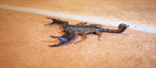 Scorpione a bordo di un aereo di linea in Indonesia