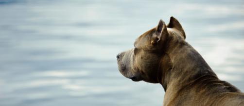 Hay algunas razas de perro que son potencialmente peligrosas