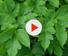 La pianta giapponese che allunga la vita: di cosa si tratta