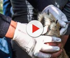 Lo zoo rimuove gli artigli ad una leonessa: «Così possono giocarci i bambini» - Fanpage.it