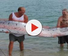 Peixe de 11 metros é encontrado no Japão (Reprodução/Twitter)
