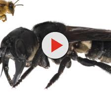 Maior abelha do mundo é encontrada por pesquisadores (Reprodução)