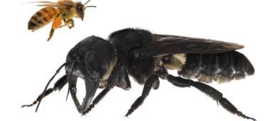 Maior abelha do mundo é encontrada por pesquisadores: 'um buldogue voador'