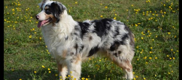 5 adorable photos of dogs with unique coat patterns [image source: Merle Images - Pixabay]