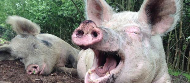 Russia, donna si sente male nel porcile e viene sbranata viva dai maiali: indagini in corso