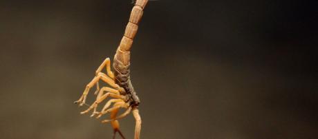 Ataques de escorpião no estado de SP aumenta nas últimas três décadas - Foto: acervo Blasting News