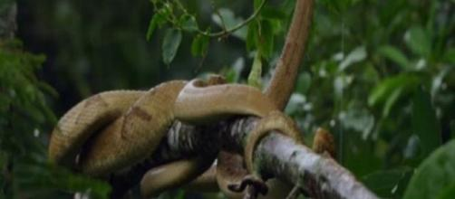 Jararaca-ilhoa, espécie de serpente que é a única moradora da Ilha (Arquivo Blasting News)
