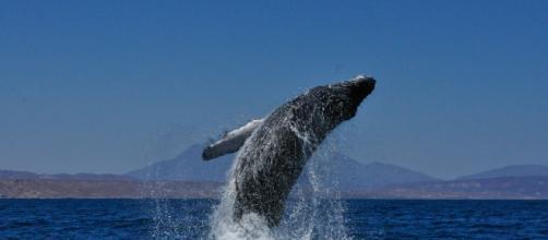 Una ballena traga a un hombre y lo escupe vivo