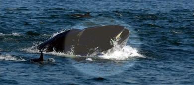 Sudafrica, sub come Pinocchio inghiottito e risputato da una balena: miracolosamente vivo