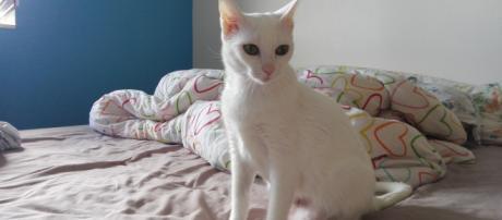 Adoption de Gogo: Moyen chat chat domestique poil court, région ... - secondechance.org