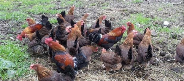 Galline si coalizzano e uccidono una volpe che si era introdotta nel loro pollaio - Il Mattino