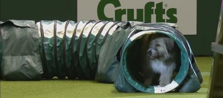 Kratu the rescue dog particularly liked the tunnel at the Crufts Dog Show in Birmingham. [Image Crufts/YouTube]