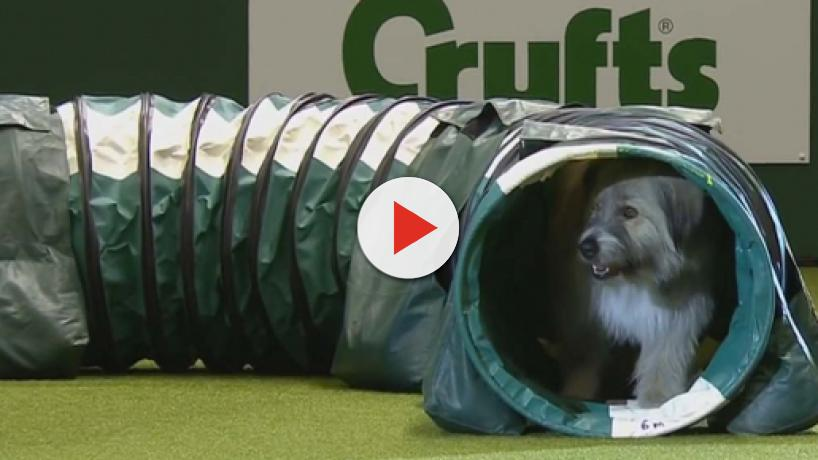 Kratu the rescue dog hilariously performs obstacle course at Crufts