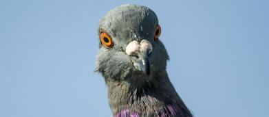 Armando : Un pigeon voyageur vendu plus d'1 million d'euros