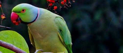 Ringneck parakeets are very clever birds and love teasing cats. [Image Pexels]