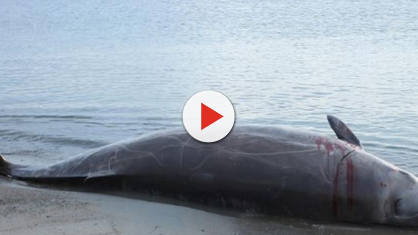 A juvenile whale dies in the Philippines after ingesting 80 pounds of plastic