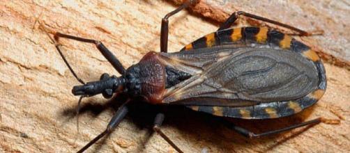 L'Emittero Triatoma gerstaeckeri nella foto che sta facendo il giro del web (Ph. Minden)