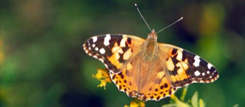 Brown orange and white painted lady butterfly viewed from above. [Image source/Barnes Dr Thomas G, Wikimedia Commons]