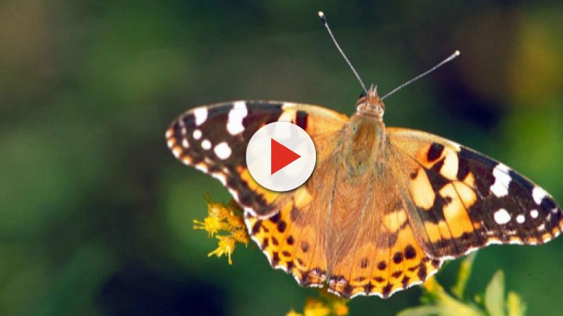 Millions of painted lady butterflies migrate from Southern California to Pacific Northwest