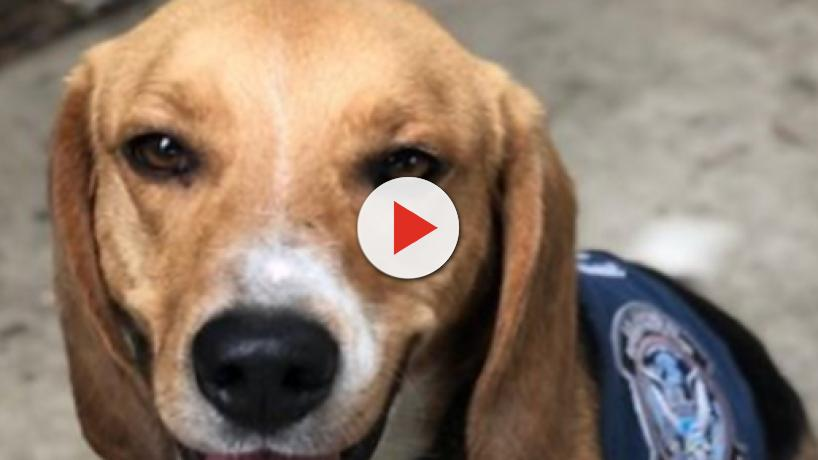 CBP agricultural K-9 team welcomes new beagle to their team