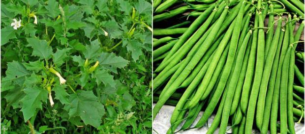 SIcurezza alimentare: Eurospin ritira fagiolini finissimi per la presenza di stramonio
