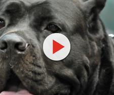 Roma, uomo di 43 anni sbranato dal suo cane corso: trovato in una pozza di sangue al parco